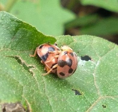 Kumbang Koksi Henosepilachna sp: Cantik tapi Perusak