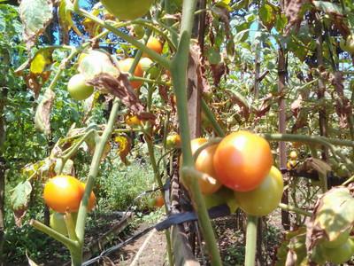 Mencegah Tomat Organik Terserang Penyakit