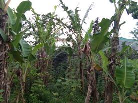Pohon terserang ulat daun pisang