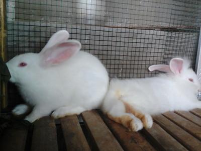 pupuk kotoran kelinci