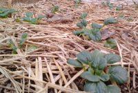 Penggunaan mulsa jerami padi